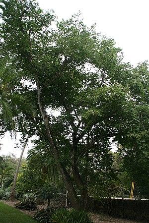 Bulnesia arborea - Image: Bulnesia arborea 13zz