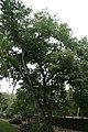 Bulnesia arborea 13zz.jpg