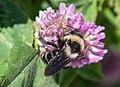 Bumblebees of Arkhangelsk and Novgorod Regions 04.jpg
