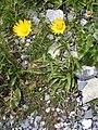 Buphthalmun salicifolium DSCF1598.JPG