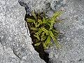 Burren Flora 10 Maidenhair Spleenwort (3586114532).jpg