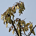 Butea monosperma (Dhak) fruits at Canopy W IMG 7498.jpg