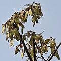 Butea monosperma (Dhak) fruits at Canopy W IMG 7498.jpg