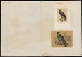 Buteo vulgaris - 1700-1880 - Print - Iconographia Zoologica - Special Collections University of Amsterdam - UBA01 IZ18200032.tif