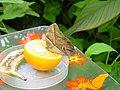 ButterfliesFeeding-EmmenZoo.JPG