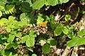 Butterfly near Venford Reservoir (4726).jpg