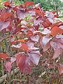 Cây Tai tượng đỏ (Acalypha wilkesiana).JPG