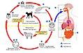 CDC Ehinococcus Life Cyle (Estonian version).jpg