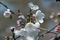 CHERRY BLOSSOMS Closeup.jpg
