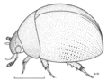 COLE Hydrophilidae Tormus sp1.png