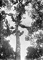 COLLECTIE TROPENMUSEUM De kroon van een Podocarpus begroeid met moskussens TMnr 10006106.jpg