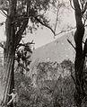 COLLECTIE TROPENMUSEUM Tjemara's op de vulkaan Widodaren Ijen-plateau TMnr 60016975.jpg