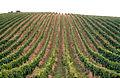 CSIRO ScienceImage 4093 Grapevines in the Adelaide Hills South Australia 1992.jpg