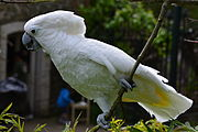 A white parrot with a crest and a grey beak