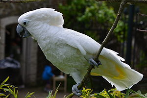 White cockatoo - At Pairi Daiza, Belgium