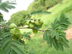 Libidibia coriaria - Leaves and pod