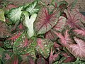 Caladium from Lalbagh garden 8736.JPG