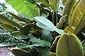 Calathea ornata 4zz.jpg