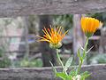 Calendula officinalis-Nandal-2.jpg
