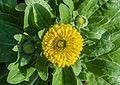 Calendula officinalis 27122014 (7).jpg