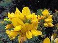 Calicotome spinosa (yellow flower) ooty nilgiris, india.jpg