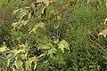California Scrub Jay - Aphelocoma californica (42061407770).jpg