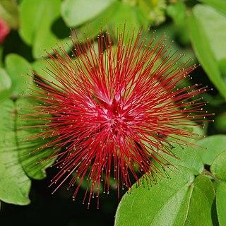 Mimosoideae subfamily of plants