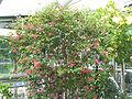 Calliandra emarginata - Pink Powderpuff - desc-whole tree.jpg