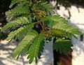 Calliandra surinamensis (6).jpg