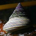 Calliostoma canaliculatum 1.jpg