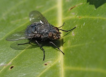Calliphora sp Madrid 3.jpg