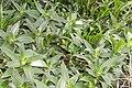 Callisia fragrans 14zz.jpg