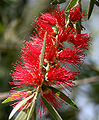 Callistemon viminalis (Weeping bottlebrush) in Hyderabad, AP W2 IMG 0649.jpg