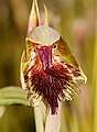Calochilus herbaceus - cropped.jpg