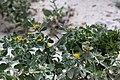 Calostephane divaricata-2295 - Flickr - Ragnhild & Neil Crawford.jpg