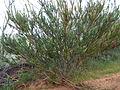 Calothamnus quadrifidus asper (habit).JPG