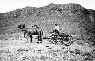 Coolgardie, Western Australia - Camel team, Coolgardie ca. 1900