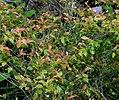 Camellia lutchuensis 02.jpg