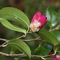Camellia sasanqua (bud s2).jpg