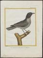 Campephaga cinerea - 1700-1880 - Print - Iconographia Zoologica - Special Collections University of Amsterdam - UBA01 IZ16500203.tif