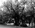 Camphor Tress, Vergelegen Estate, Somerset West, South Africa 1.jpg
