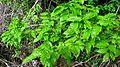 Campomanesia aromatica (Aubl.) Griseb. - Flickr - Alex Popovkin, Bahia, Brazil (11).jpg