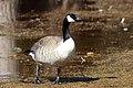Canada Goose on brown (4460413886).jpg