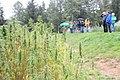 Cannabis sativa - GBA Viote - WAF.jpg