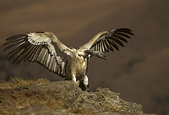 Cape Vulture - Giant Castle - South-Africa 010002 (15444476446).jpg
