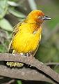 Cape Weaver, Ploceus capensis at Walter Sisulu National Botanical Garden (9953913666).jpg