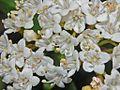 Caprifoliaceae - Viburnum tinus.JPG
