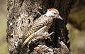 Cardinal Woodpecker - MALE, Dendropicos fuscescens at Pilanesberg National Park, Northwest Province, South Africa (14905396098).jpg