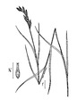 Carex muskingumensis illustration 2.tif