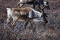 Caribou in early summer (c64be69a-dc88-45fa-b03d-7c55019590c4).jpg